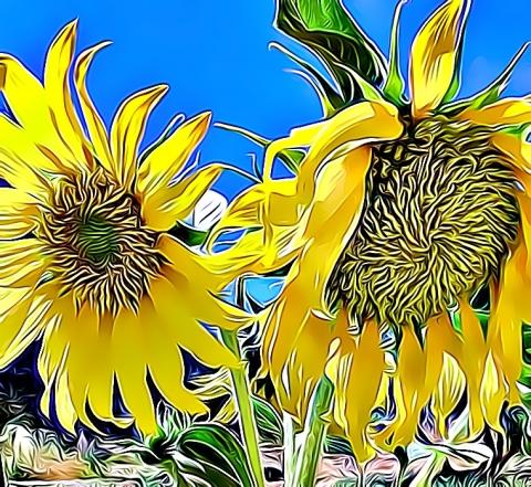 sunflowers new cartoon